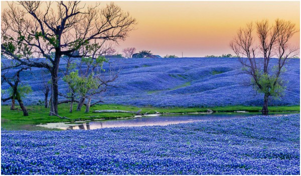 Texas Bluebonnet